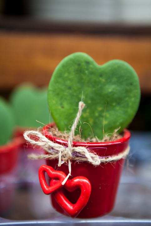 Heart Shape Cactus as a gift for Valentine's Day.